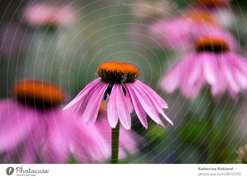 A pink, echinacea flower blooms in a summer meadow. coneflower purpurea purple Green Natural Nature wildflower Flower Garden Gardening perennial Plant closeup