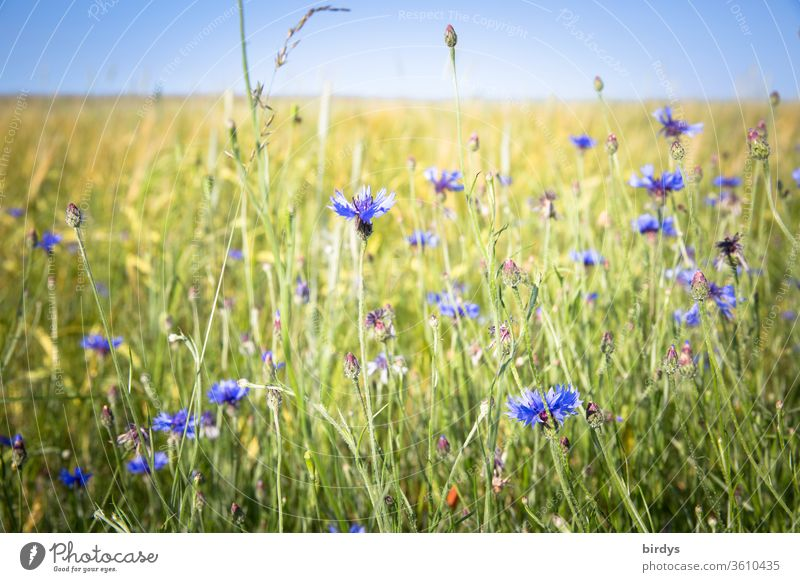 Blue, blooming cornflowers at the edge of the field Margin of a field bleed Field Summer Cloudless sky Shallow depth of field Blossoming Warmth Landscape