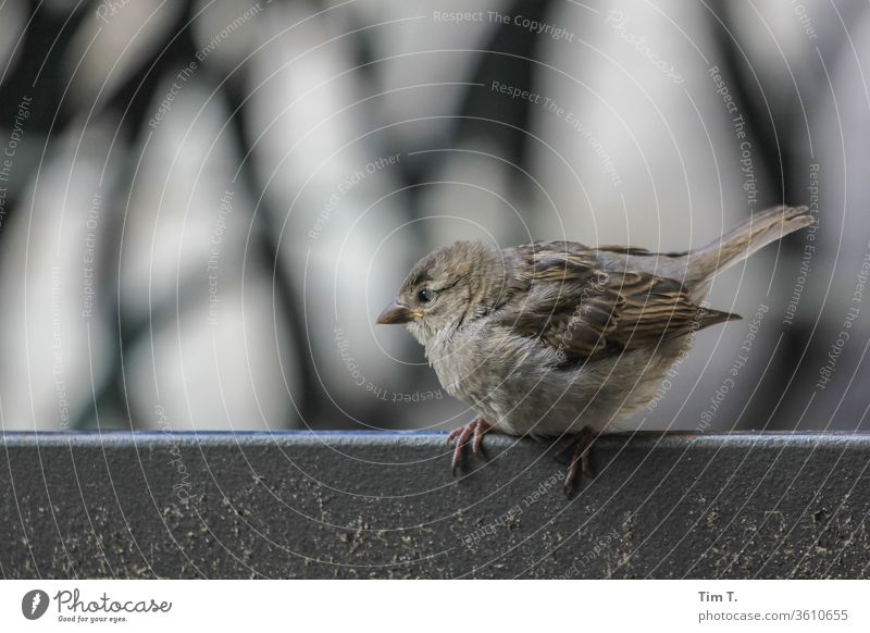 the young sparrow Sparrow birds Animal Colour photo Exterior shot Day Deserted 1 Animal portrait Shallow depth of field Environment Wild animal Nature