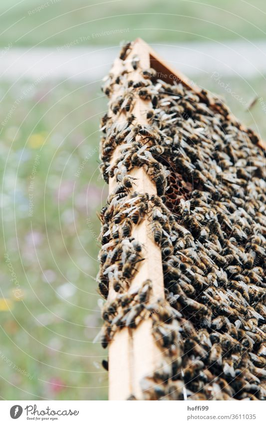 full honeycombs with bees in front of blooming meadow Bee-keeping Bee-keeper keep beekeepers Honey honey production organic farming ecologic Honey bee Food