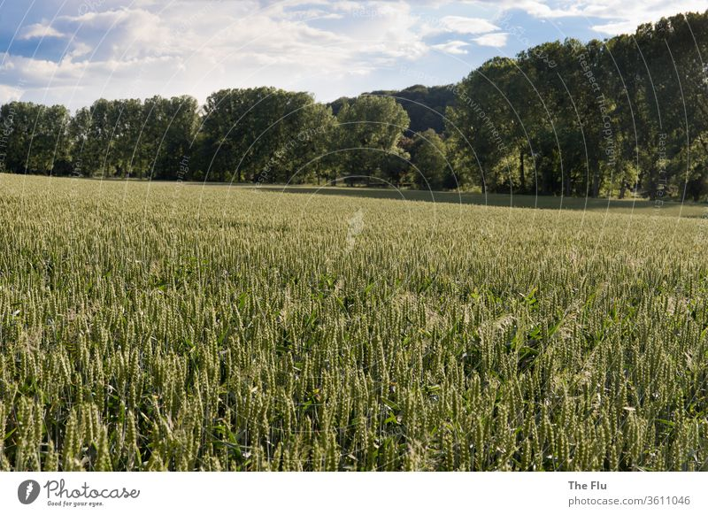 rye field Rye grain Wheat Summer Sky Grain Field Agriculture Blue Nature green Ear of corn Food Cornfield Nutrition Plant Growth Grain field Agricultural crop