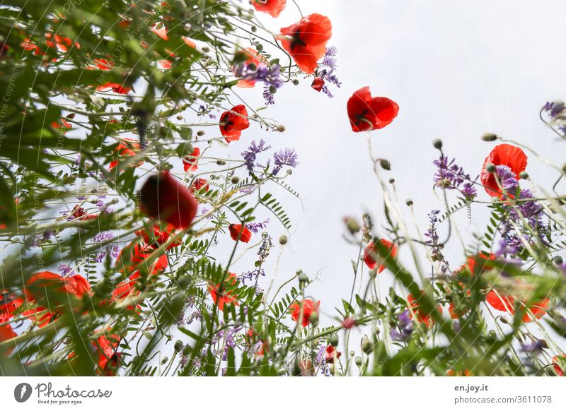Isn't today poppy day? - Poppies on a flower meadow from a frog's perspective poppies meadow flowers Flower meadow Worm's-eye view Plant bleed blossom spring