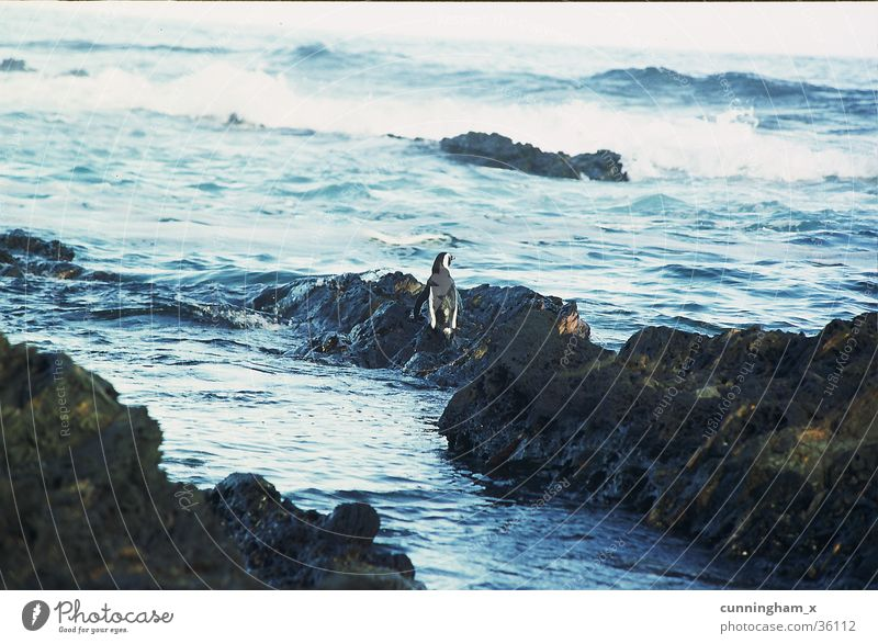 P1- penguin, lonely Penguin South Africa Indian Ocean Coast Nature´s valley Blue