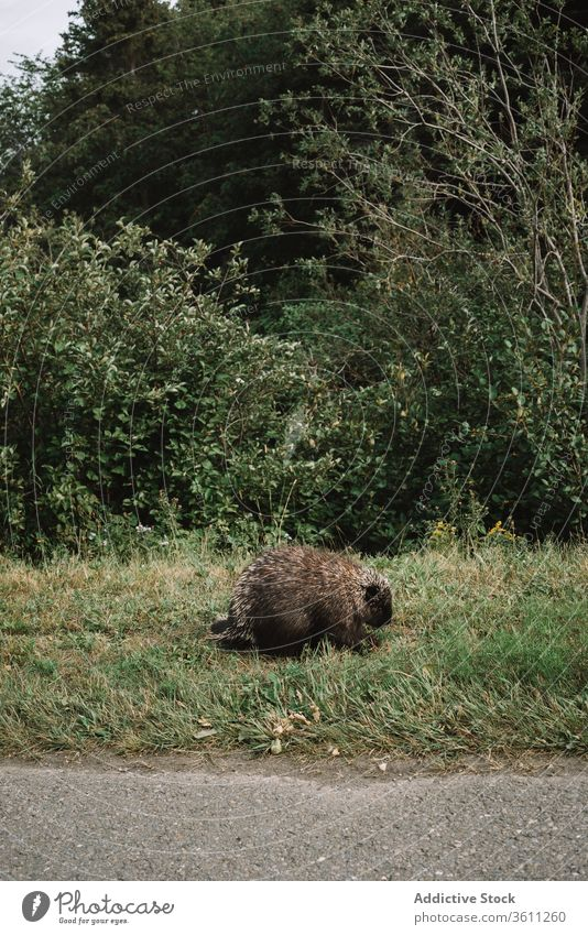 Wild beaver on green roadside in park habitat national la mauricie specie mammal fauna grass canada quebec wild animal creature herbivore curious path trail