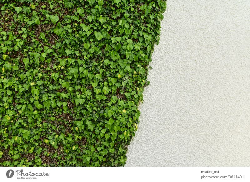 Wall design with ivy in green and white Wall (building) Wall (barrier) Wall plant Ivy Plant house wall White obliquely third leaves bailer Exterior shot Day