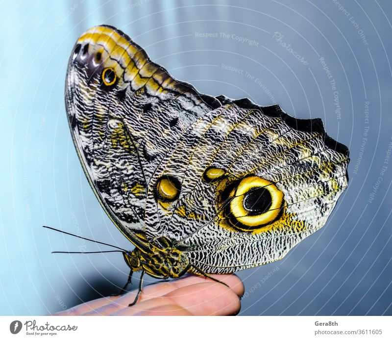 a silvery-yellow big butterfly sits folding its wings on a human background beauty of nature blue bright butterfly entomologist entomology