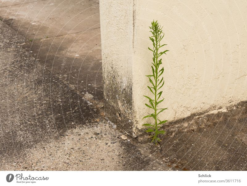 Survivor, a plant richly fertilized with dog urine is waiting for spring Plant Outskirts Concrete Wall (barrier) Corner Dog urine Urine Individual