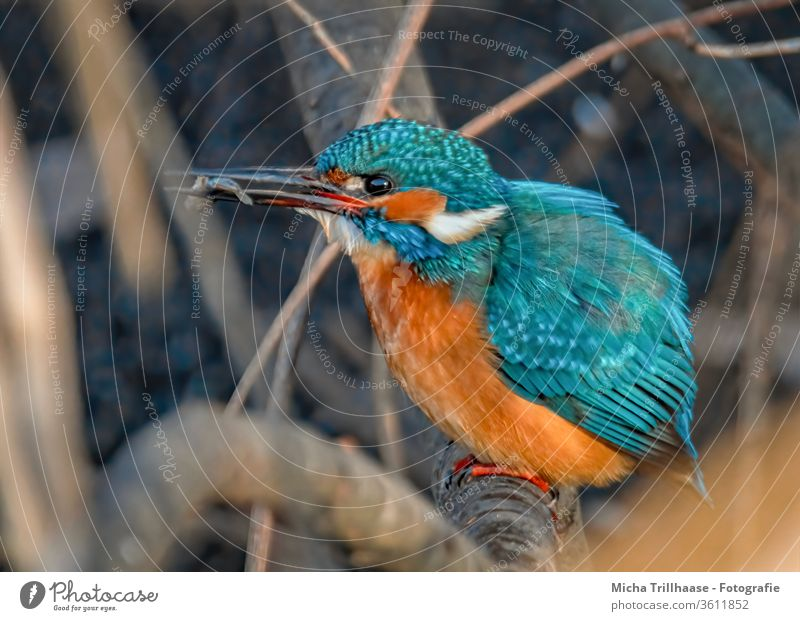 Kingfisher with fish in its beak kingfisher Alcedo atthis birds Animal Nature Beak Eyes Grand piano plumage feathers Twigs and branches Wild animal Fish