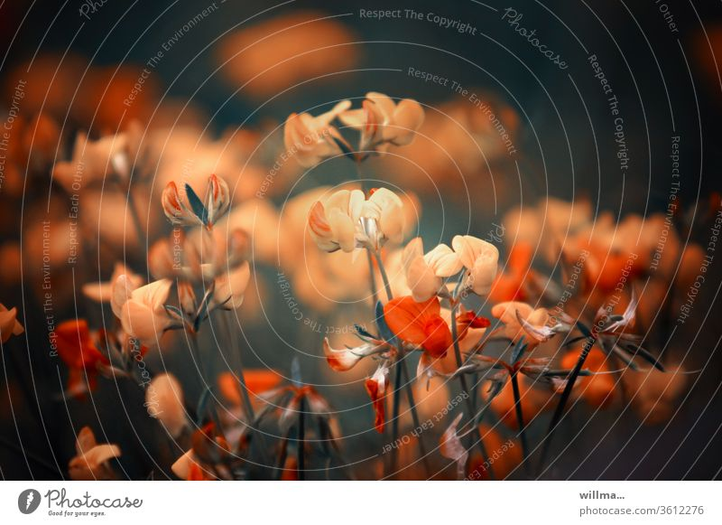 artistically free representation of horn clover flowers Bird's foot trefoil Delicate Lotus corniculatus Podgy clover Fabaceae surreal artistic depiction