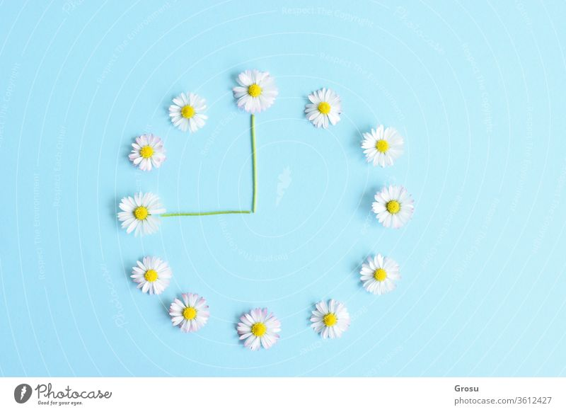 Wild flowers. Flower clock made of beautiful white daisies on light blue background Time Concept. Soft light colour. Daisies on blue background Daisy Nature