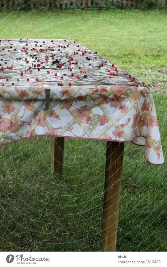 alt l old, dirty, smeared, wax tablecloth with flower pattern, lies forgotten on garden table. Many, red berries, lying on sloping, sloping, woody garden table, in the autumnal allotment garden. Neglected table on green, fresh grass.