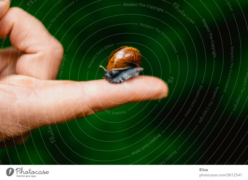 Small Roman snail with snail shell on one finger Snail shell Animal Crumpet Fingers by hand take hold of sb./sth. Nature Feeler Human being stop Be confident