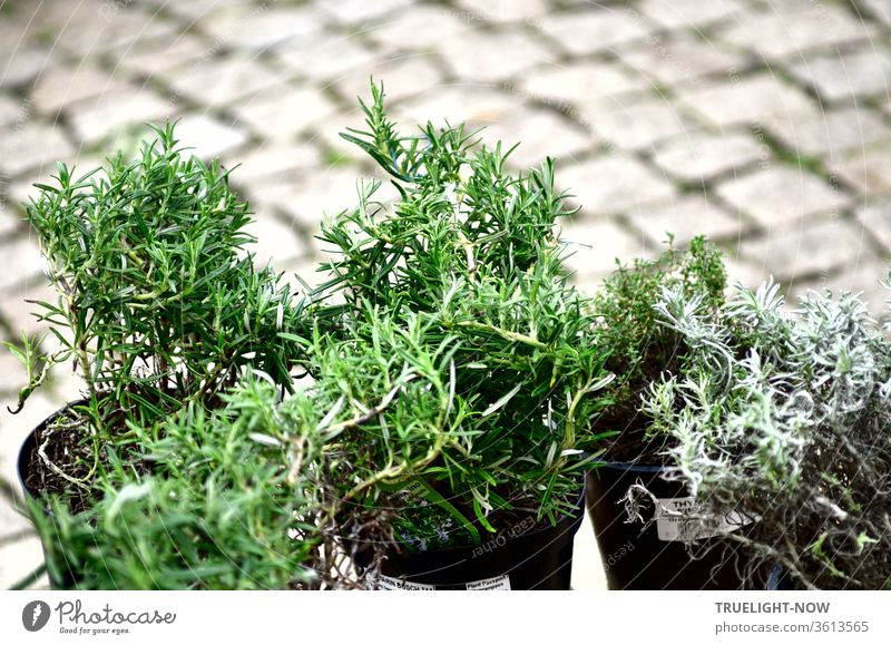 Some pots with Mediterranean herbs are standing on the cobblestones of the market place and wait to be bought Rosemary Thyme plants aromatic herbs Marketplace