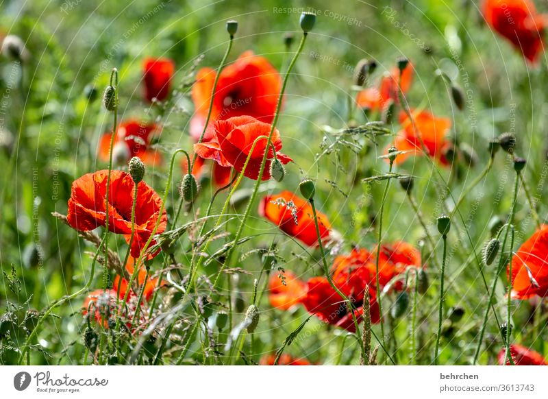 bonjour mo(h)n chéri Meadow already Agricultural crop Light Landscape Wild plant Blossom leave Deserted Environment Warmth Garden pollen Sunlight Poppy poppies