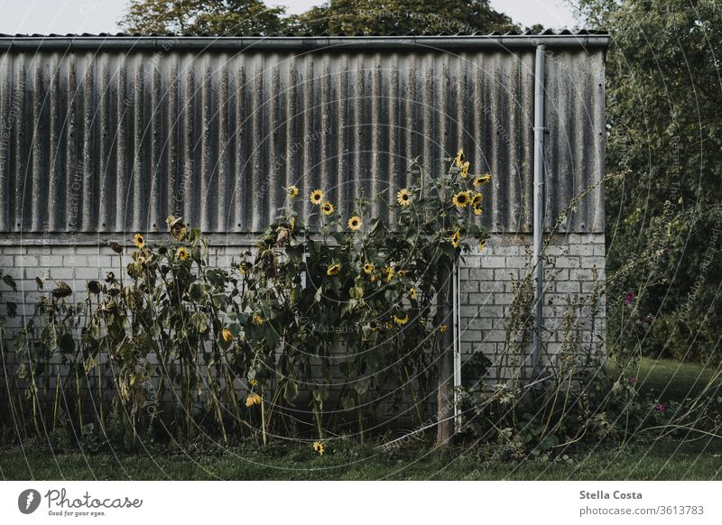 Sunflowers growing on an old garage Garage Old Wall (building) Colour photo Exterior shot Facade Manmade structures Deserted built Day Gloomy Wall (barrier)