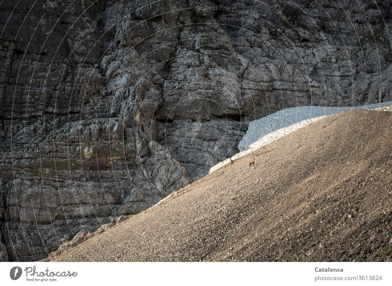 At the rock face, below the ice field, two chamois stand in the scree Alps Mountain Scree Ice Rock Wall of rock Alpine animals Landscape Deserted Environment