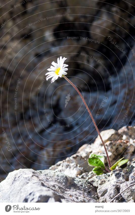 High alpine daisy plays wallflower Alpine measure feline Daisy composite flowers White Yellow by oneself freestanding survival artist Nature already bleed tall
