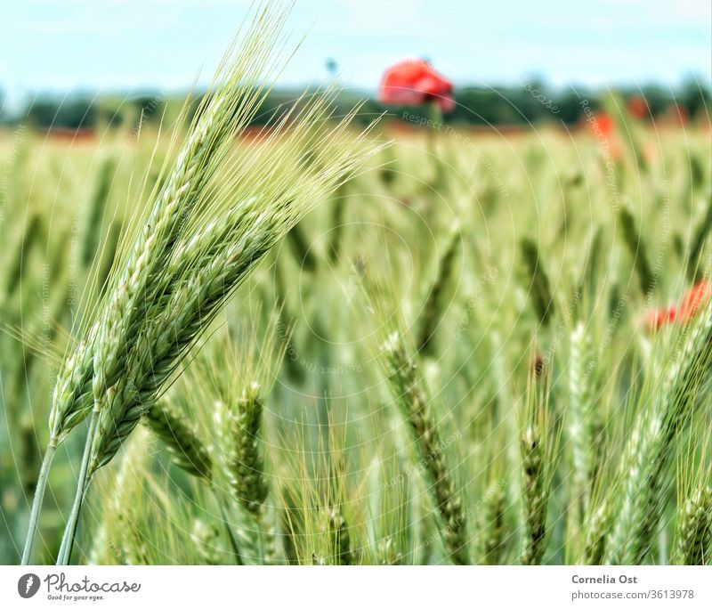Grain field in sunlight with poppies in the background. Wheat Field Summer grain Ear of corn Agriculture Harvest Cornfield Nature Wheatfield Exterior shot