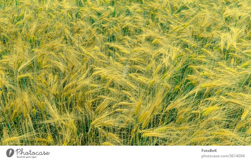 A barley field just before maturity Grain field Barleyfield Grain ears Summer Agriculture Nature Yellow green Cornfield Barley feeding