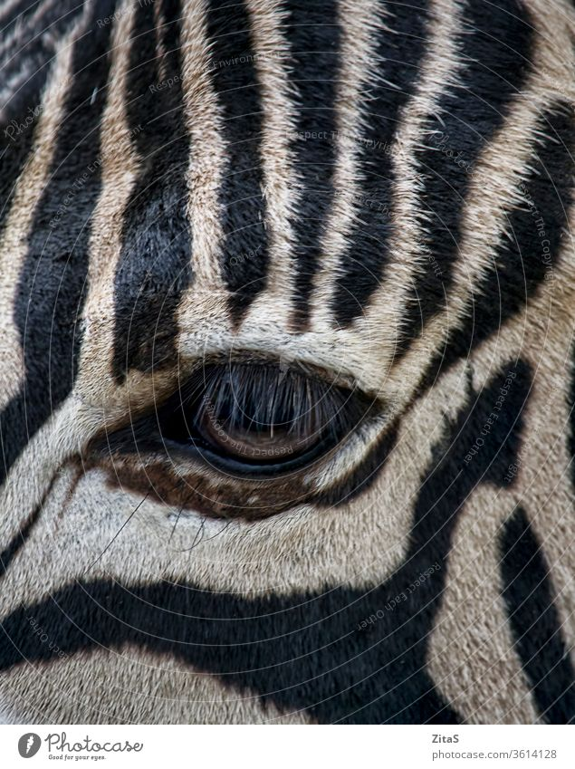 Zebra eye zebra closeup animal mammal wild wildlife black white stripes striped pattern fur horse africa african safari lashes