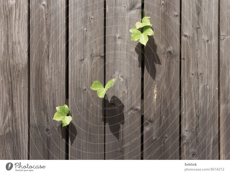 Ivy leaves squeeze through between weathered wooden boards to catch precious sunlight Individual Wooden boards Shadow Weathered Raw Wooden wall Plant