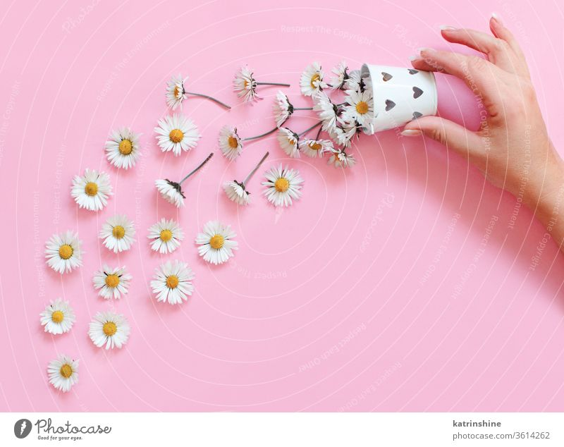 Spring composition with white daisies falling from a bucket flower romantic love daisy hand faceless keep light pink top view above concept creative day decor