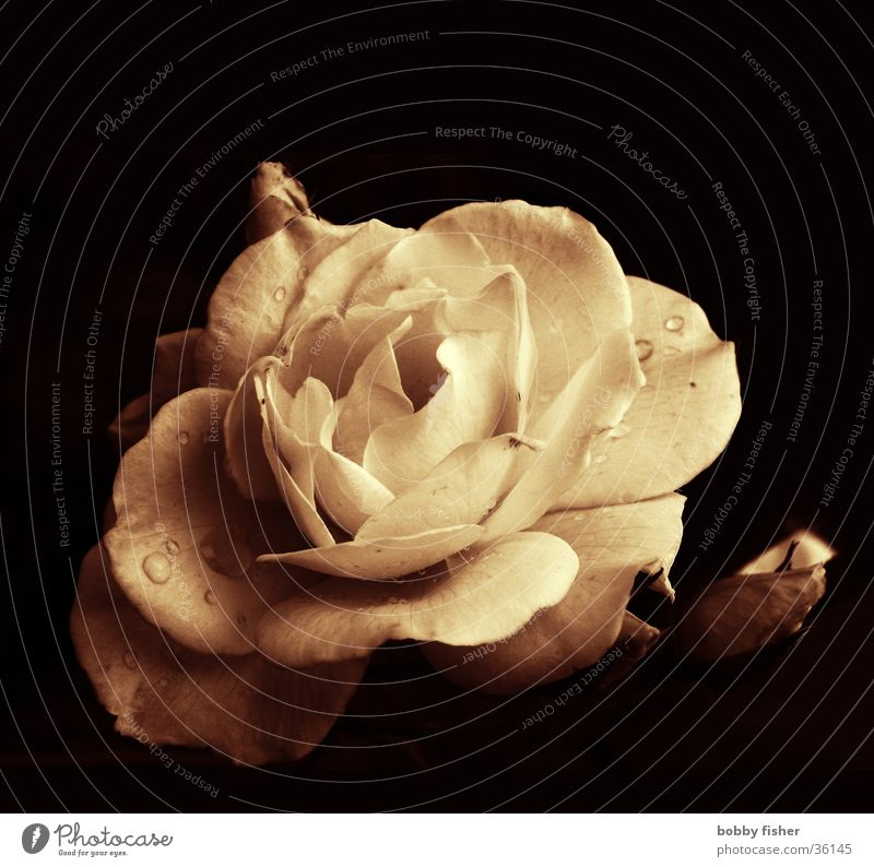 fat rose Rose Flower Beautiful Plant Sepia Thorn