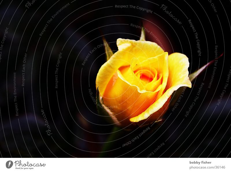 Beautiful Flower Plant Black Yellow Orange Rose