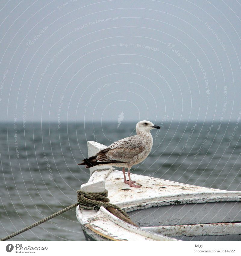Sentry - young silver gull stands on a wooden boat and looks into the distance Seagull Silvery gull fledglings Larus argentatus Great Gull Baltic Sea Water