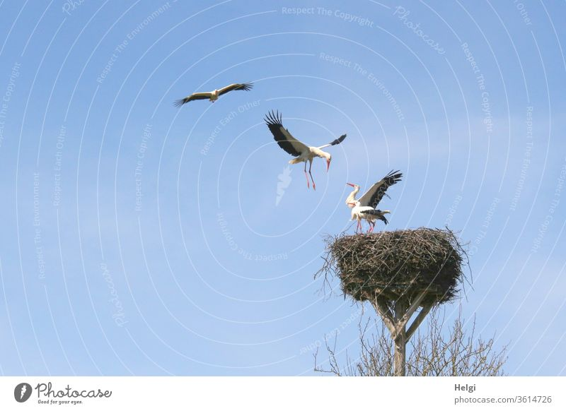 Attack - two storks stand in the eyrie, two others try to chase them away and conquer the nest Stork Stork's Nest Stork pair Eyrie attack four Stand Flying