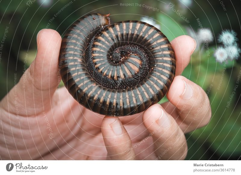Holding a Asian giant millipede or Thyropygus spirobolinae sp, showing concept of kindness, harmony with nature and environmentalism Conceptual