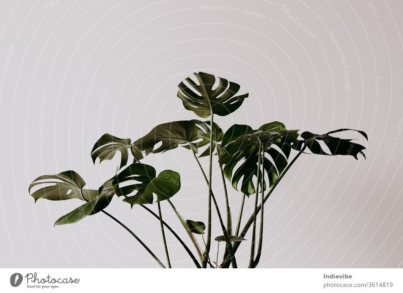 Dark green palm tree leaves in an empty room with white wall monstera plant leaf flower white background nature herb growth spring branch grass flora macro