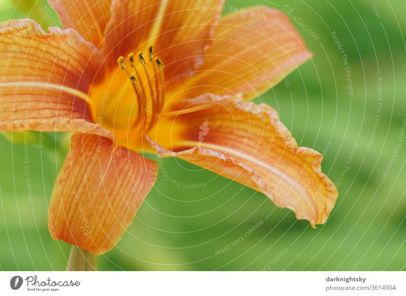 Daylilies (Hemerocallis), Hemerocallis hybrids in full bloom lily orange bleed macro detail Orange summery Close-up Garden filament Pollen Healing Plant floral