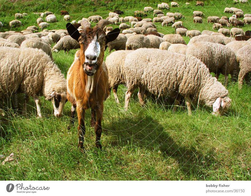 Green Calm Animal Watchfulness Sheep Superior Goats Buck