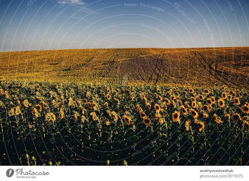 Beautiful sunflowers in the field natural background, Sunflower blooming. yellow blossom landscape nature plant agriculture beautiful crop meadow oil petals
