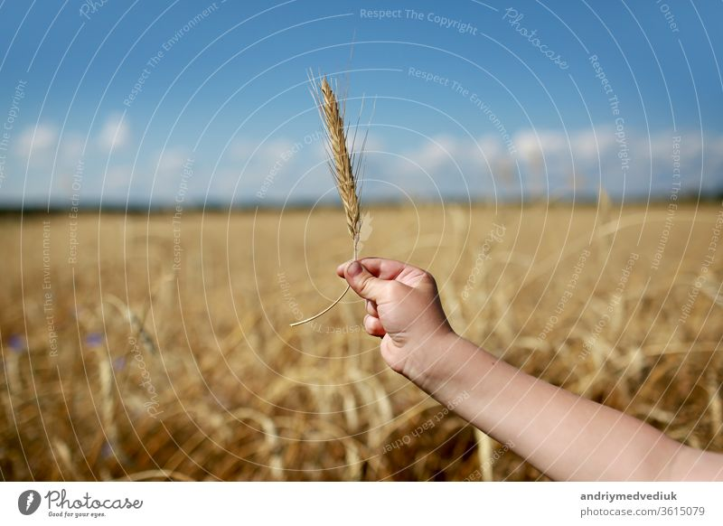 Children's hand holds a spikelet of wheat on the field, in the countryside. Agriculture. Rich harvest. Horizontal photo. background with wheat field and sky. selective focus