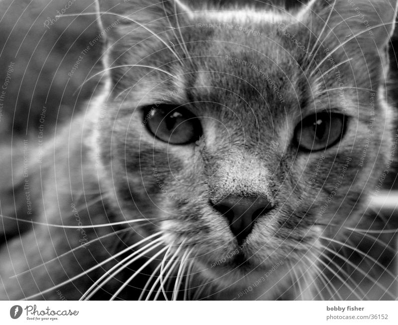 I know everything Cat Black White Intensive Transport Black & white photo Eyes Looking