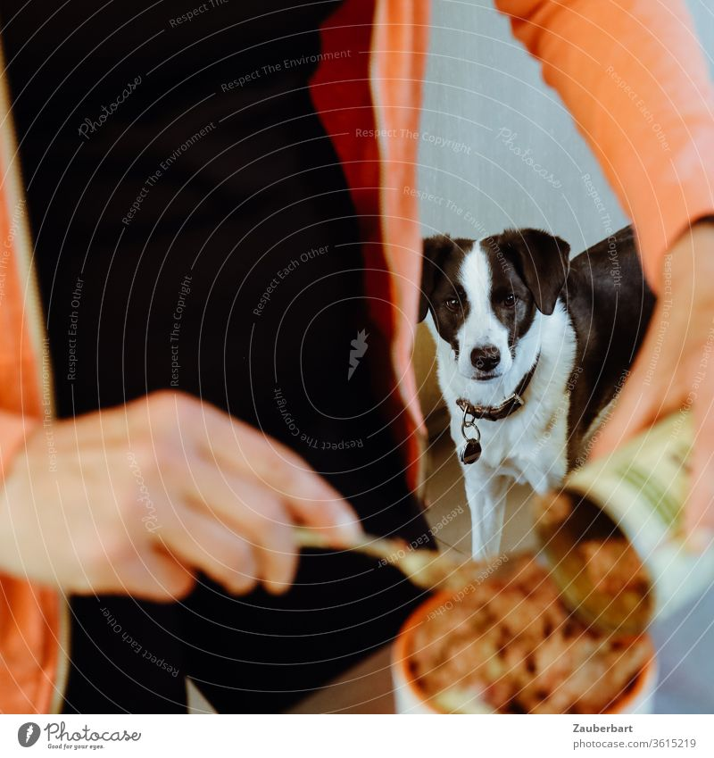 A black and white dog watches attentively as a woman fills his food from a can into the bowl Puppydog eyes Feed Dog Bowl canned food Wet feed Looking Crossbreed