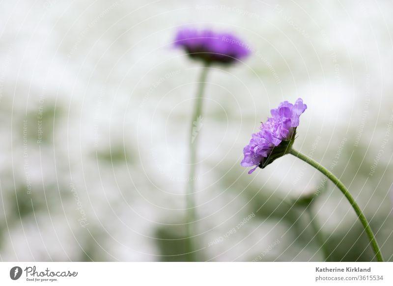 Purple Pincushion Flower Head purple pincushion Flora Floral Spring springtime Summer Season Seasonal Natural Nature Garden Gardening botanic botanical Plant