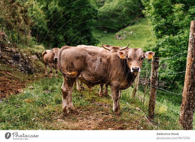 Cow in pasture in countryside cow graze animal fence domestic herd rural cattle asturias spain livestock meadow farm environment stand summer grass nature