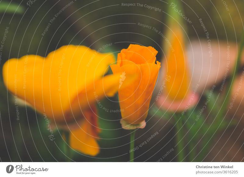 Golden poppy / California poppy / Sleepyhead / Eschscholzia californica California red poppy nightcap Poppy flowers bleed Blossoming flower bud Orange Nature