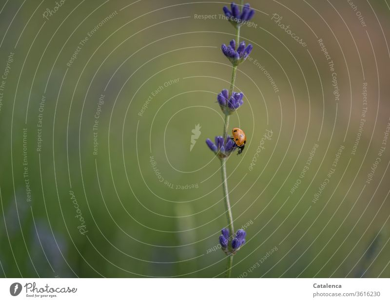 On the descending lavender stairs the ladybird crawls into the depths flora fauna Plant Animal Insect Beetle Ladybird Crawl bleed lavender blossom Lavender