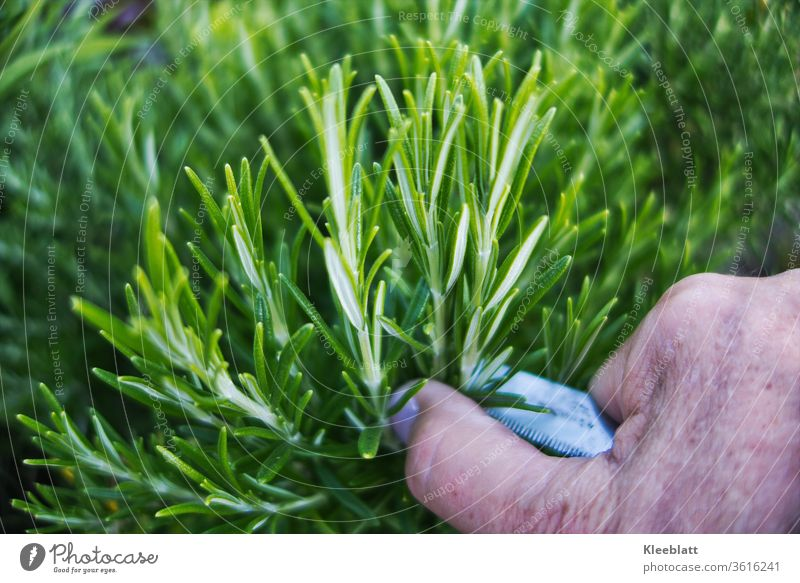 Rosemary is cut with a woman/man knife Rosemary, Herbs and spices Fragrance Fresh green Organic produce, Food Plant Nutrition Healthy Vegetarian diet natural