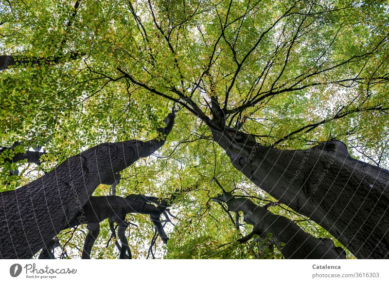 Under the green leaf canopy of an old, tall beech tree it is pleasantly fresh flora Plant beeches Forest branches leaves Beech leaf Tall Old flaked