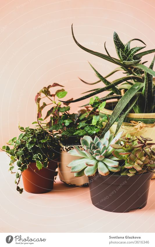 Trending collection of various indoor plants and succulents pink background home gardening flower pot Fittonia Hypoestes cactus stay home care green natural