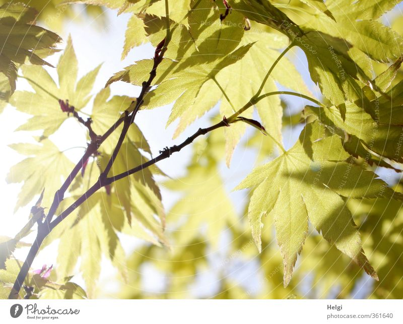 foliar Environment Nature Plant Summer Beautiful weather Tree Leaf Maple tree Maple leaf Twig Rachis Park Hang Illuminate Growth Esthetic Exceptional Natural