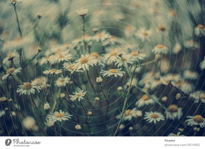 Camomile flowers Camomile blossom Summer Nature Colour photo Plant Chamomile Exterior shot Blossoming White Shallow depth of field natural