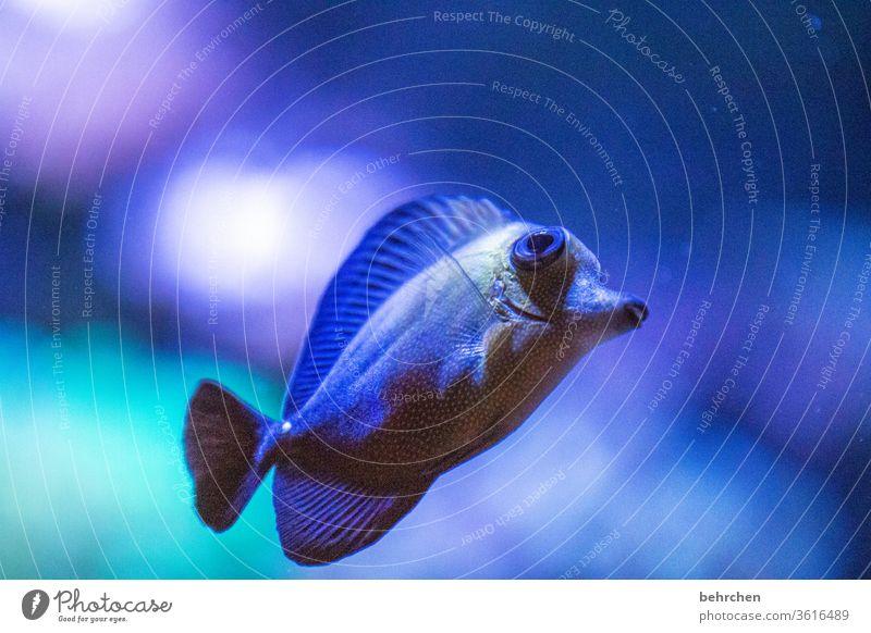 blubb | friday fish Coral reef flowed Lake Ocean Wild animal Nature Deserted Animal portrait Underwater photo Colour photo Aquarium be afloat Flake Fish Blue