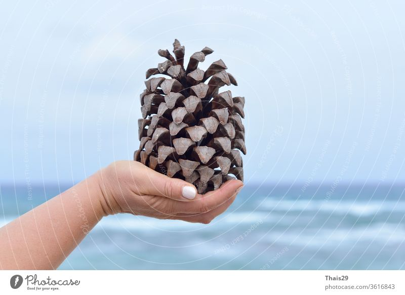 Woman hand holding a huge pinecone, on sea sky background autumn brown christmas closeup coniferous decoration dry element environment forest holiday isolated