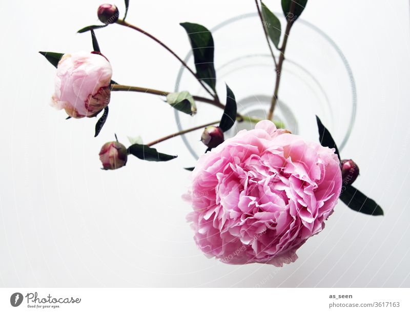 Pink peony blossoms in vase Peony bleed pink Light Shadow petals flowers Nature spring Summer already Colour photo Close-up Blossoming Deserted Blossom leave